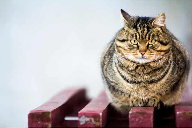 Gruby kot - stłuszczenie wątroby u kota