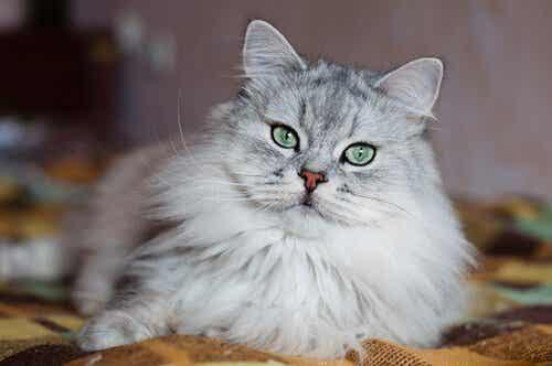 Kot perski, jeden z najdroższych ras kotów