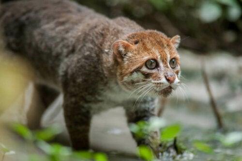 Kotek kusy, jeden z przykładów nieznanych kotów