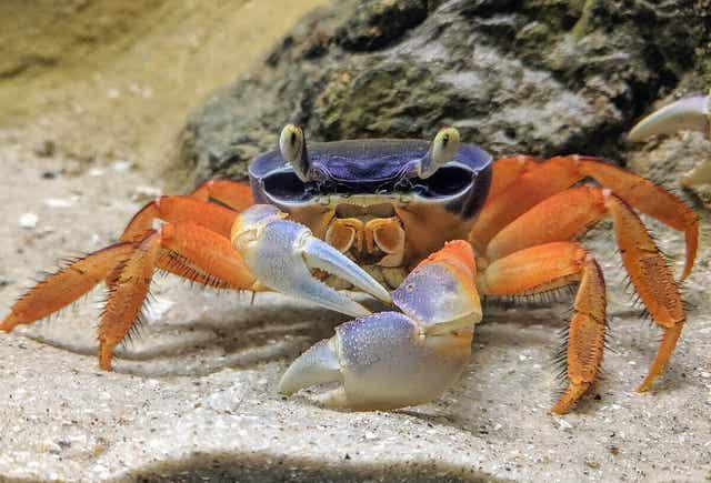 Krab na piaskowym substracie