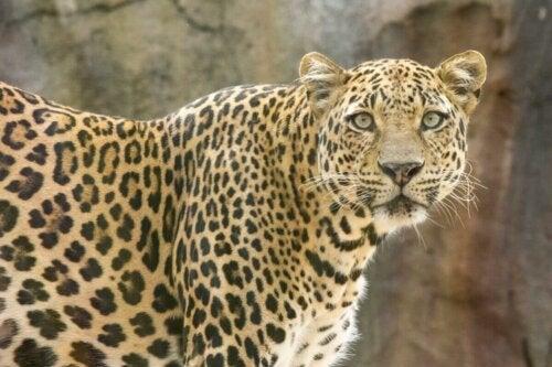 Lampart plamisty, jeden z gatunków kotów