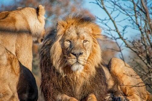 Lwy / król wśród kotów