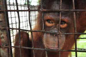 Małpa za siatką - zwierzęta mogą cierpieć z powodu depresji