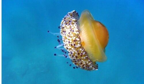 Meduza wygląda jak jajko sadzone i pływa w basenie