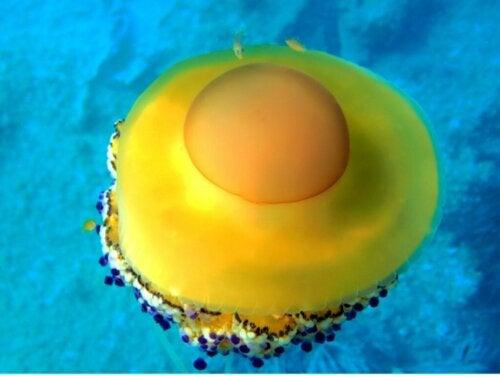 Meduza przypominająca jajko sadzone: dystrybucja, charakterystyka i odżywianie