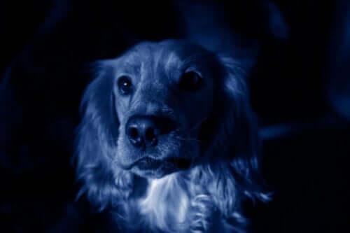 Niebieskie psy: nagle pojawiły się w Rosji