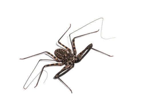 Opieka nad tępoodwłokowcami (pająk biczowy i inne)