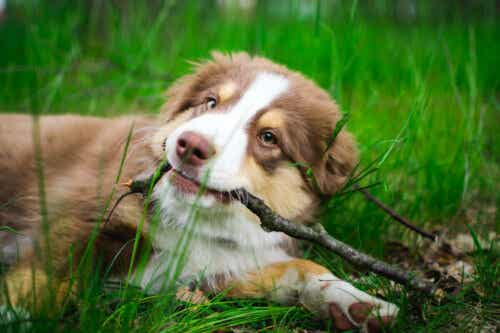 Pies bawi się patykiem