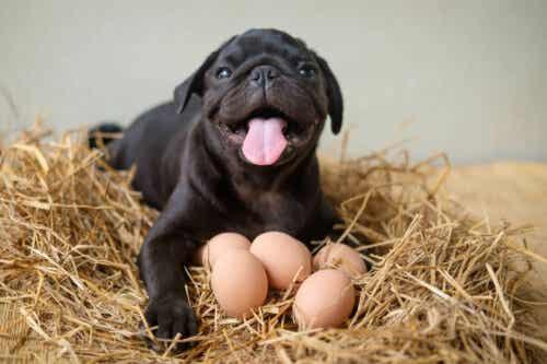 Pies pilnujący jajek