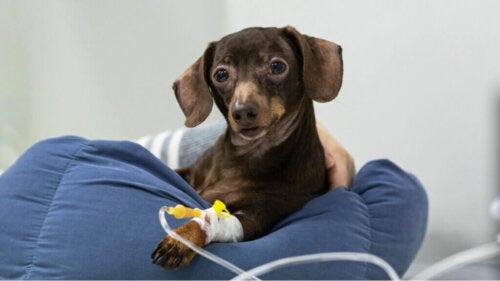 Terapia dożylna u zwierząt domowych i jej możliwe powikłania