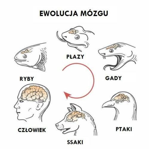Rysunek porównawczy mózgów