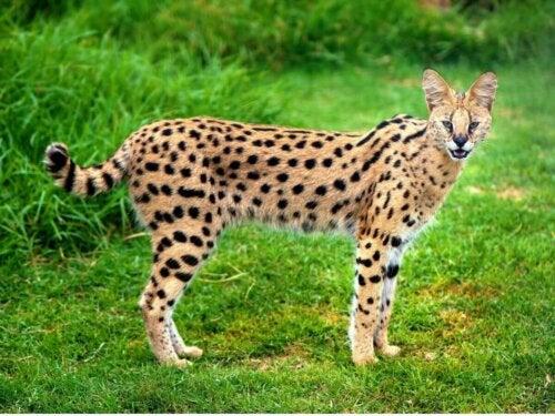 Serwal kot, jeden z przykładów mało znanych kotów
