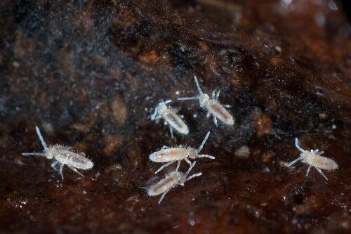 Czy skoczogonki rzeczywiście pomagają czyścić terrarium?