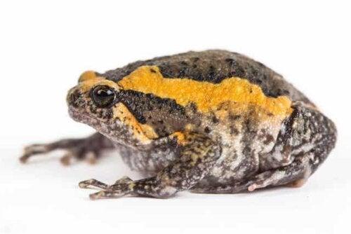 Wielka żaba rycząca