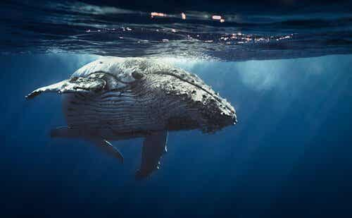 Wieloryb pływający w morzu a śpiew waleni