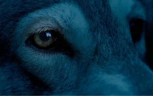 Zbliżenie na pysk niebieskiego psa