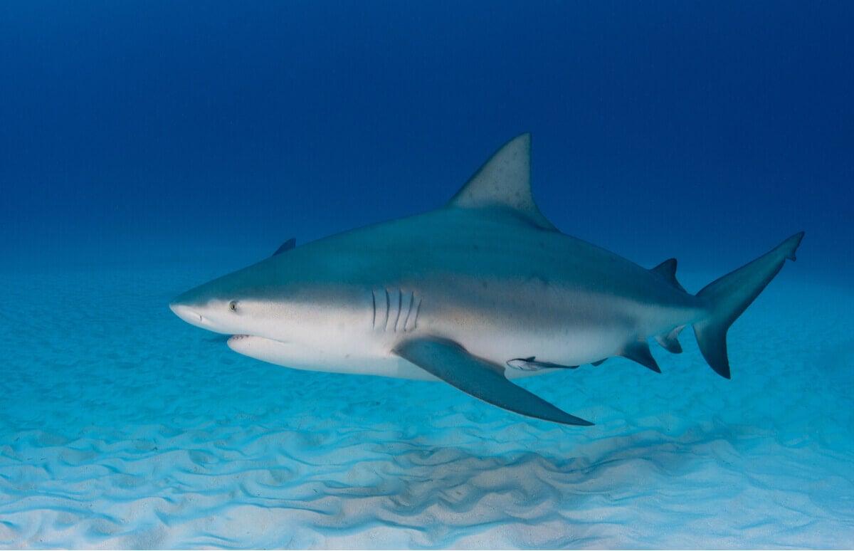 Żarłacz tępogłowy, lista niebezpiecznych zwierząt