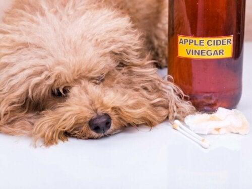 Ocet jabłkowy dla psów: zastosowania i zalety
