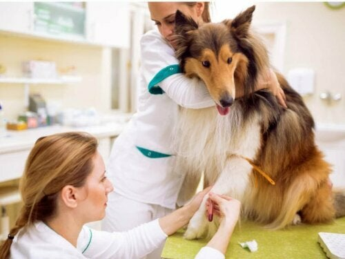 Pies dostaje zastrzyk u weterynarza
