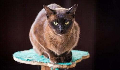 Kot birmański: charakterystyka i zachowanie