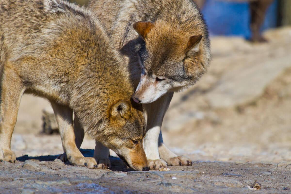 Dwa wilki rude, zagrożone wyginięciem
