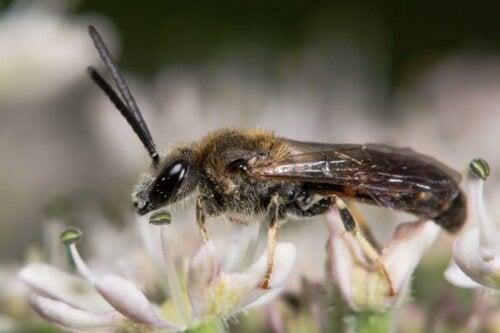Dzika pszczoła Izraelska