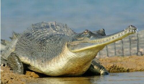 gavial