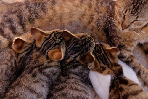po porodzie , kotka musi wykarmić swoje kocięta