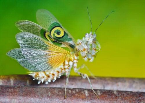 Modliszka motylowa