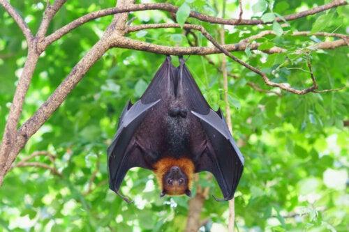 Większość nietoperzy owocożernych wisi na gałęźiach