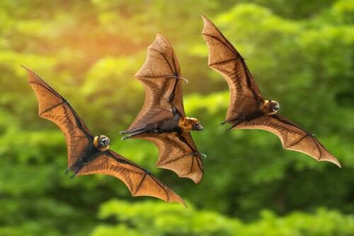 Nietoperze owocożerne