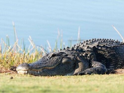 Okaz krokodyla amerykańskiego