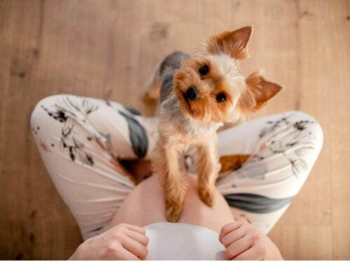 Pies opiera się łapkami na brzuchu kobiety w ciąży