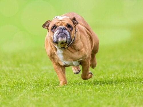 Pies z nadwagą biegnie