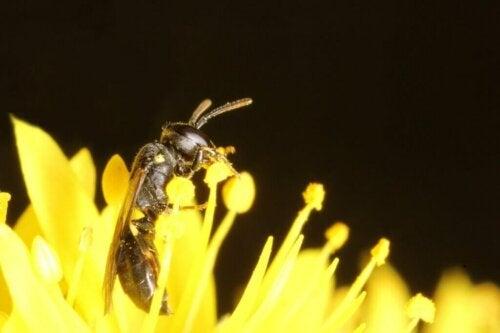Pojawienie się pszczoły australijskiej uważanej za wymarły gatunek
