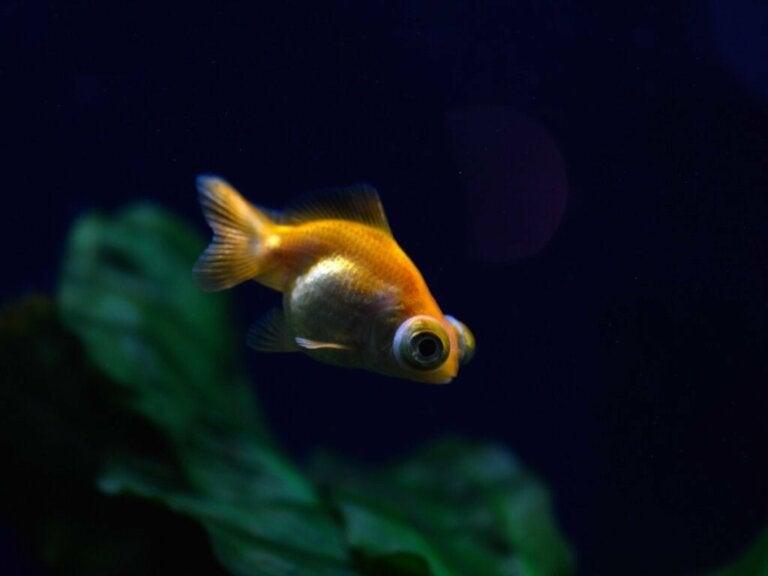 Wytrzeszcz u ryb: wszystko, co musisz o nim wiedzieć