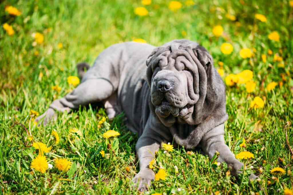 Najczęstsze problemy skórne u psów rasy Shar Pei