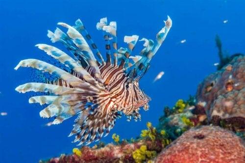 Skrzydlica pływa na rafie koralowej, gatunek inwazyjny