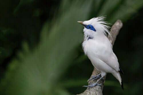 Szpak balijski: piękny, lecz krytycznie zagrożony ptak