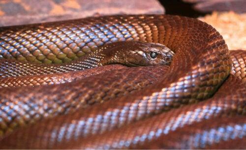 Tajpan wąż, lista niebezpiecznych zwierząt