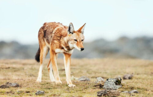 Wilki zagrożone wyginięciem: przypadek wilka rudego i etiopskiego