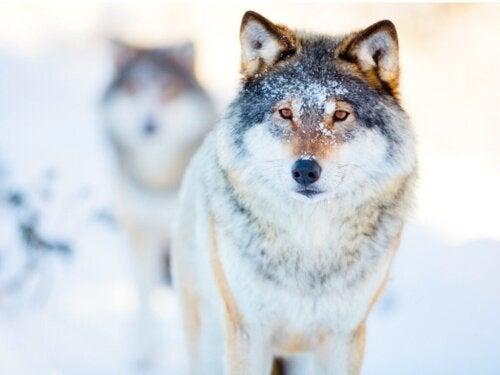 Niesamowity świat zachowań wilków