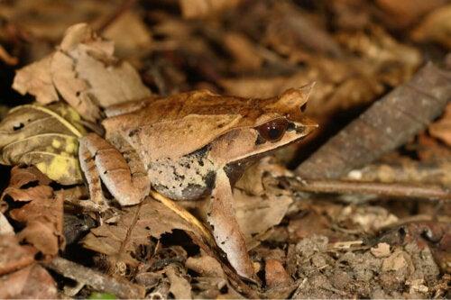 Żaba rogata na ściółce leśnej