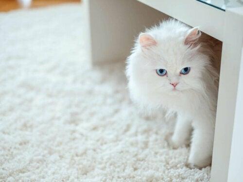 Biały kot, czy to okaz kota albinosa