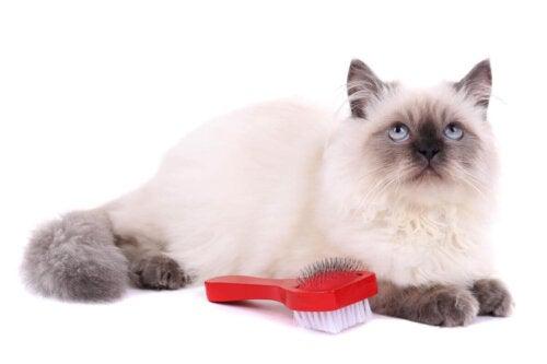 Biay piękny kot, ma duo sierści i szczotka