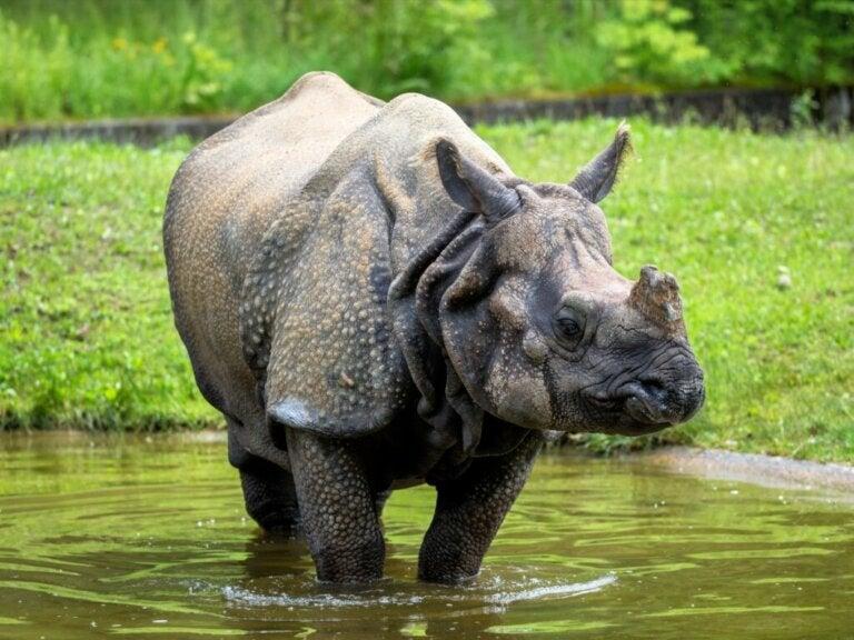 Nosorożec indyjski: siedlisko i charakterystyka