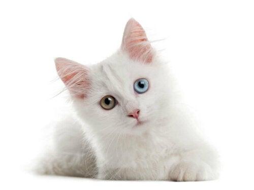 Kot albinos oczy są różnego koloru