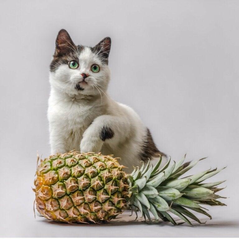Czy koty mogą jeść ananasa?