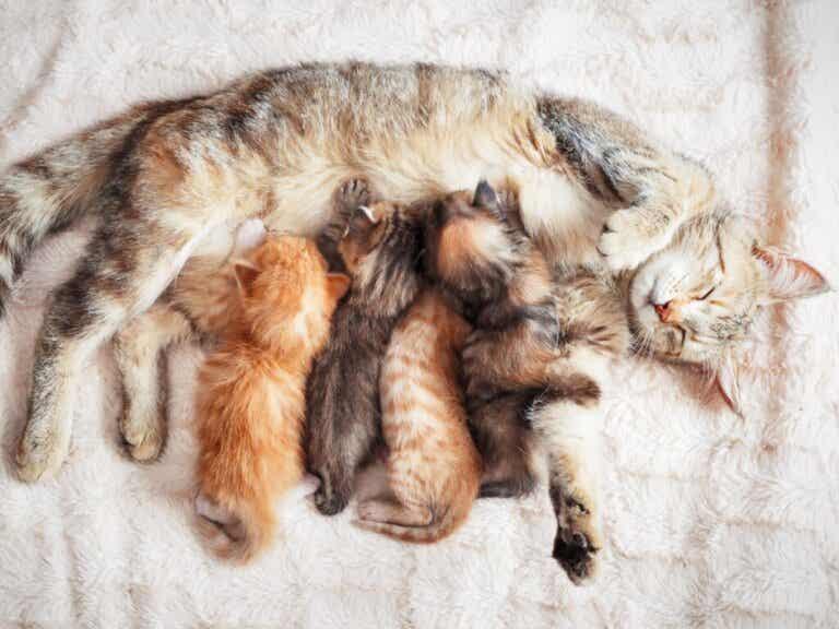 Guz sutka u kotek: przyczyny, objawy i leczenie