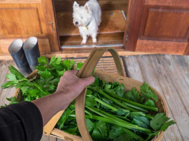 Czy psy mogą jeść seler?